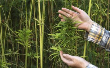 Farmers Across North Carolina Flocking to Hemp Pilot Program