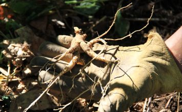 The Promise and Predicament of Ginseng in Appalachia