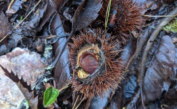Corsica to Appalachia:  Mountain Culture, Christmas, and Chestnut Restoration