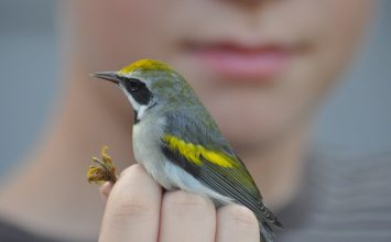The Golden-winged Warbler: One Indicator of a Changing Climate