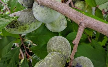 Pawpaws: A Symbol of Appalachia, But Not Exclusive to It